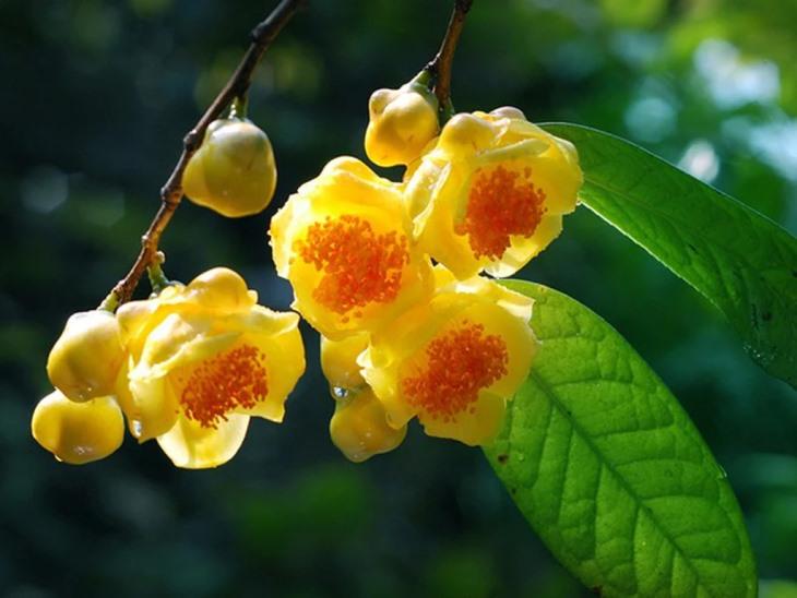 Hình ảnh cây trà hoa vàng