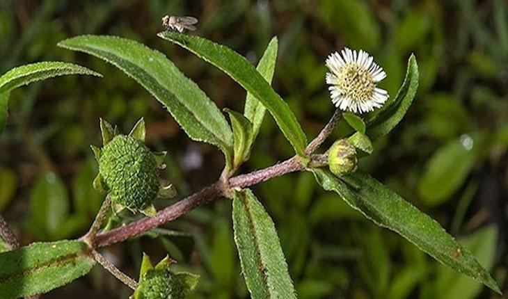 Nhọ nồi là thảo dược giúp cải thiện nhanh bệnh - trẻ sốt viêm họng kéo dài bao lâu