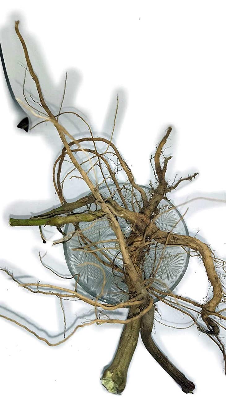 Rễ cây cỏ xước - dược liệu quý trong Đông y