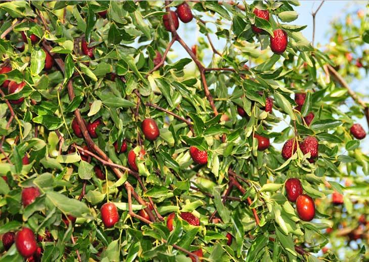 Hình ảnh cây táo đỏ trong thiên nhiên