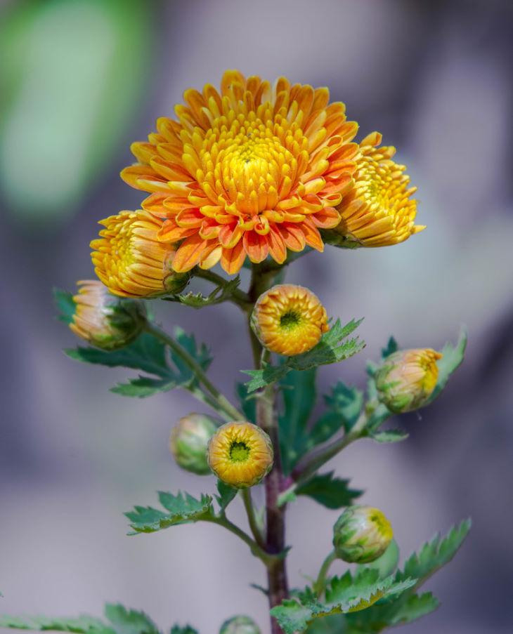 Hình ảnh cây hoa cúc được trồng ở nhiều nơi