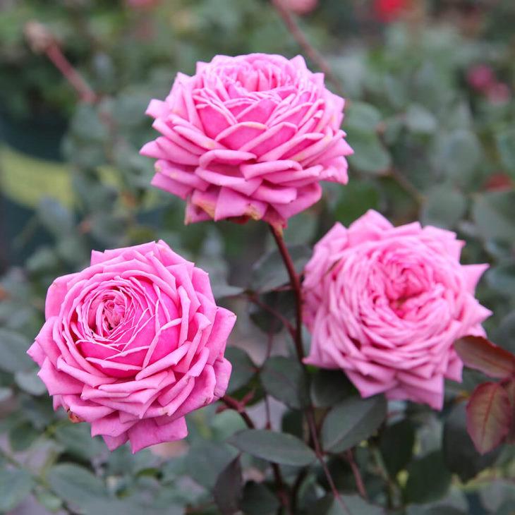 Hình ảnh cây hoa hồng trong tự nhiên