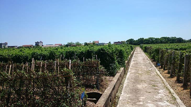 Vườn dược liệu GACP - WHO của Trung tâm Đông y Việt Nam