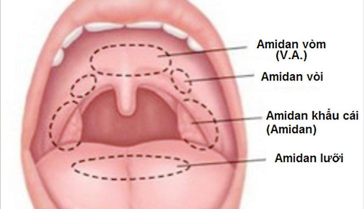 Amidan là gì? Cấu tạo cơ bản của amidan