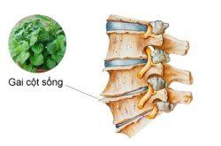 Bài thuốc trị gai cột sống từ cây lá lốt