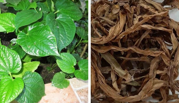 Điều trị bệnh từ lá lốt, trinh nữ và đinh lăng