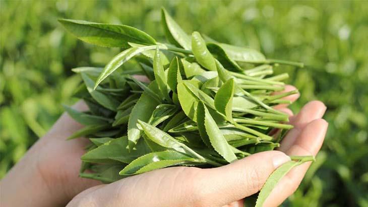 Lá trà xanh (chè tươi) là cách chữa khí hư có mùi hôi tại nhà an toàn