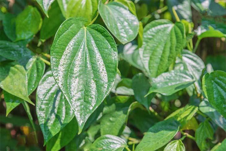 Nước nấu từ lá trầu không giúp trị bệnh khí hư ra nhiều, có màu trắng đục