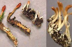 Đông trùng hạ thảo tươi có nhiều lợi ích với sức khỏe