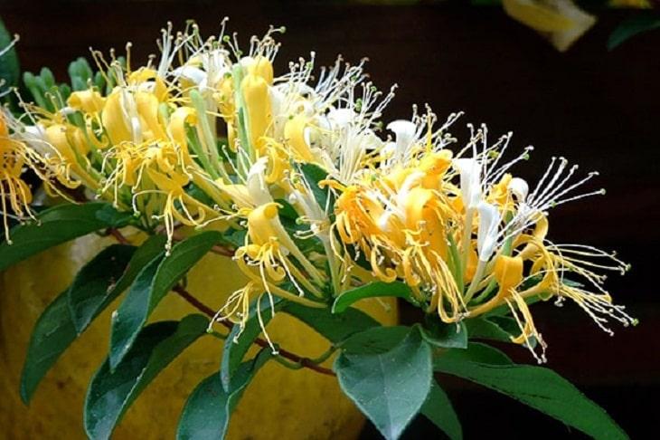 Kim ngân hoa là dược liệu quen thuộc trong các bài thuốc nam trị amidan