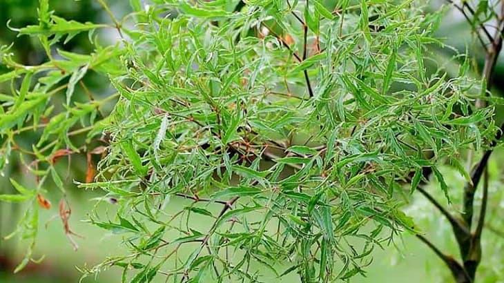 Cây đinh lăng là nguyên liệu quen thuộc trong nhiều bài thuốc Đông Y