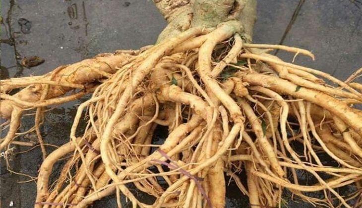 Bài thuốc trị bệnh từ rễ đinh lăng