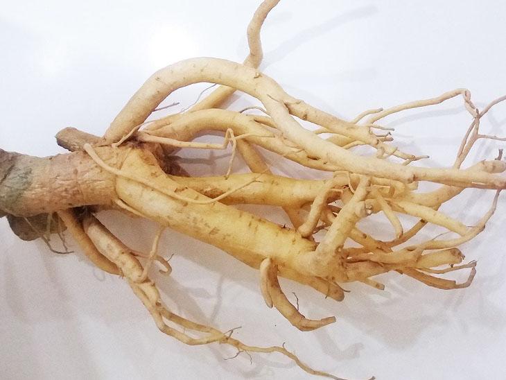 Nhiều người áp dụng cách chữa thoái hóa khớp bằng thuốc Nam từ rễ đinh lăng