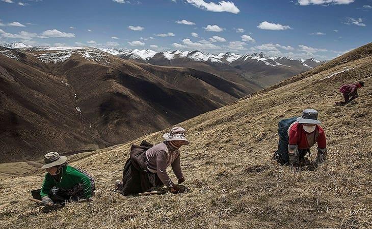 Đông trùng hạ thảo ở Tây Tạng thường có giá đắt hơn những nơi khác