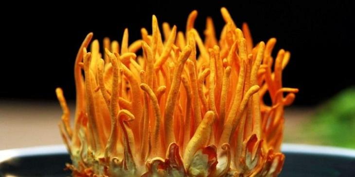 Đông trùng hạ thảo Việt Nam có nguồn gốc từ đâu?