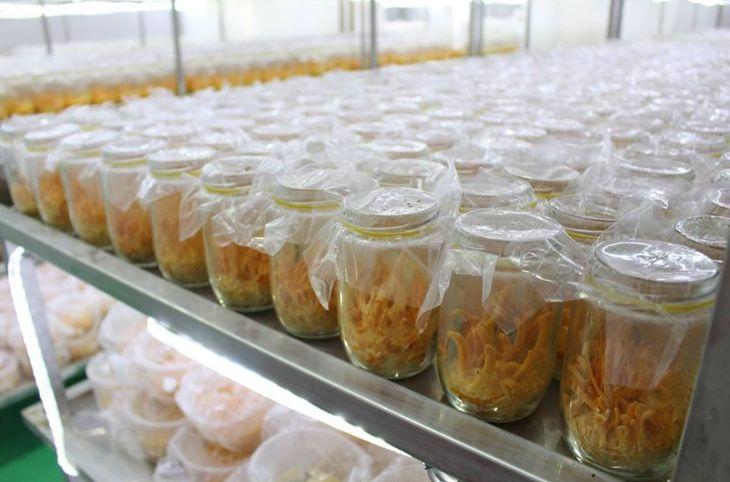 Môi trường nuôi cấy đông trùng hạ thảo cần phải đảm bảo yếu tố vô trùng