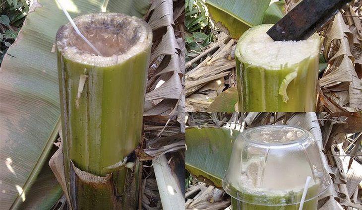 Trong cây chuối hột có nhiều tinh chất giảm đau