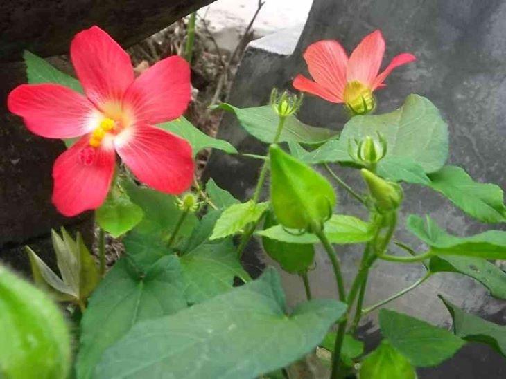 Theo màu sắc của hoa dược liệu này được chia thành 4 loại