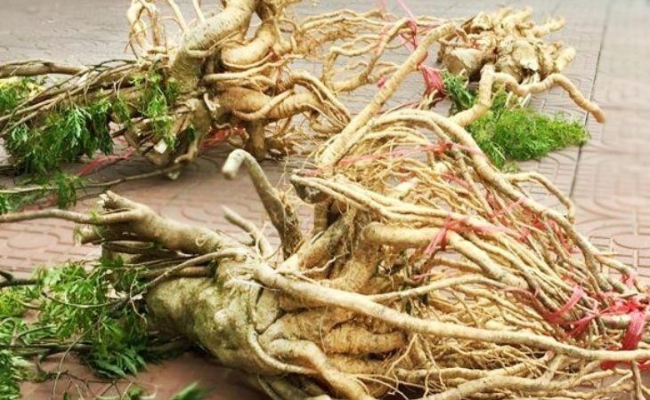 Lấy rễ đinh lawnng xao vàng và đun nước uống có tác dụng giảm đau, hồi phục chức năng khớp