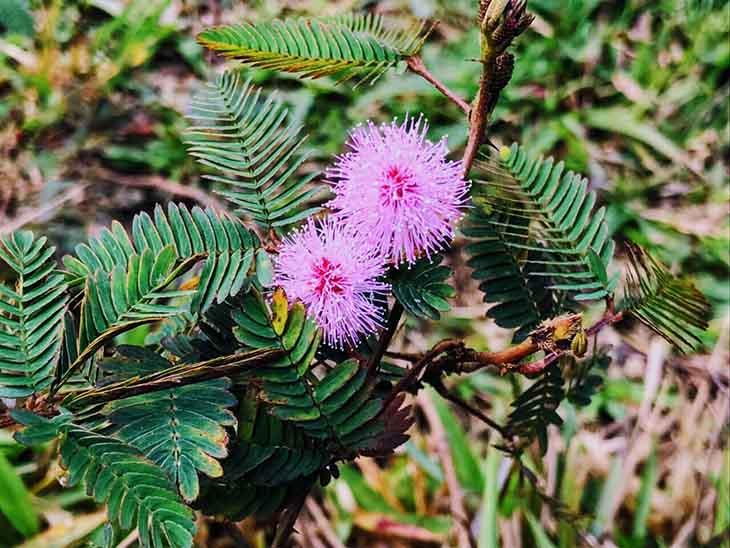 Rễ cây trinh nữ có tác dụng hỗ trợ chữa bệnh