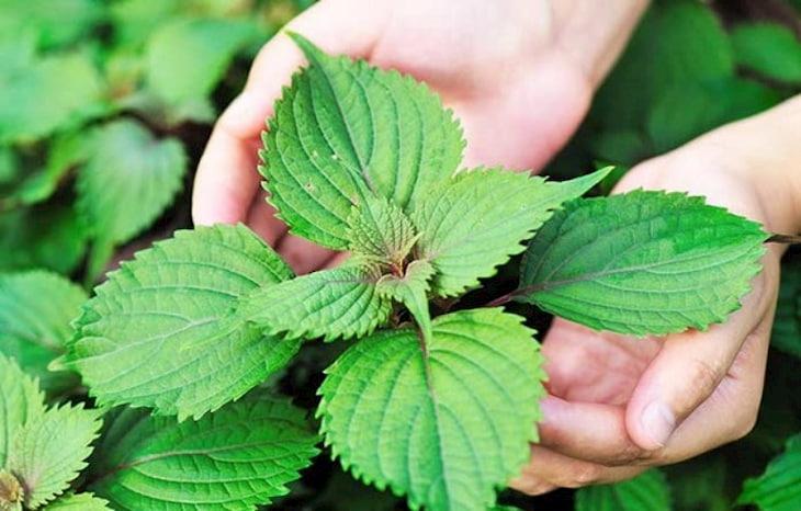 Lá tía tô chứa nhiều vitamin và khoáng chất cần thiết giúp làm mờ các vết thâm mụn