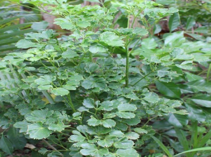 Cây đinh lăng lá tròn thường được dùng để làm cảnh do không có dược tính cao