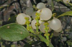 Cây tầm gửi sống ký sinh trên cây chủ nên thường được gọi kèm theo tên của các loài cây này