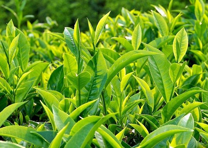 Trị mụn mủ trắng hiệu quả với lá trà xanh