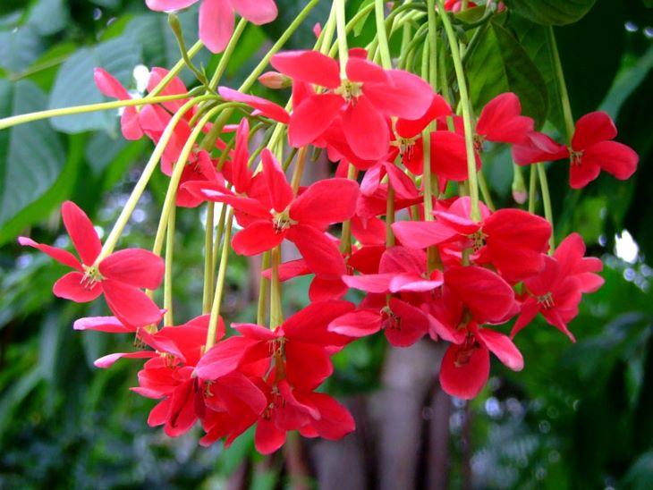 Đặc điểm nổi bật của sử quân tử đơn là hoa có 5 cánh