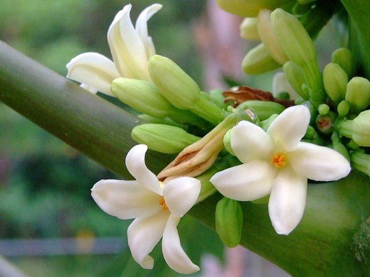 Hoa đu đủ đực giúp giảm viêm họng ở trẻ hiệu quả